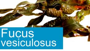fucus vesiculosus