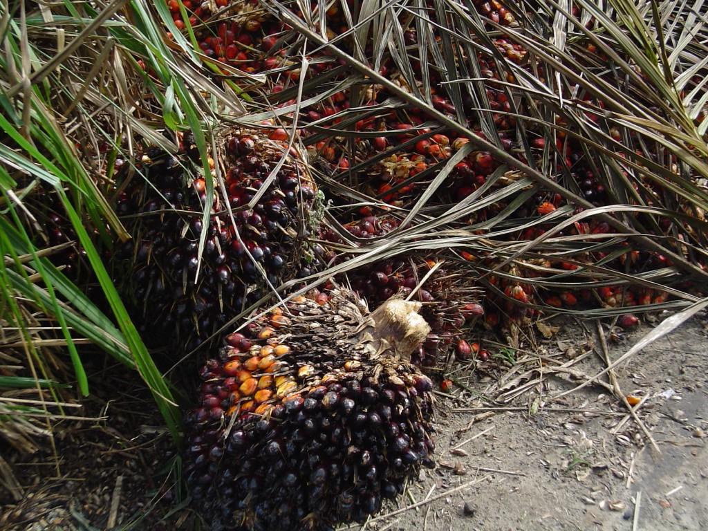 aceite de palma fruto