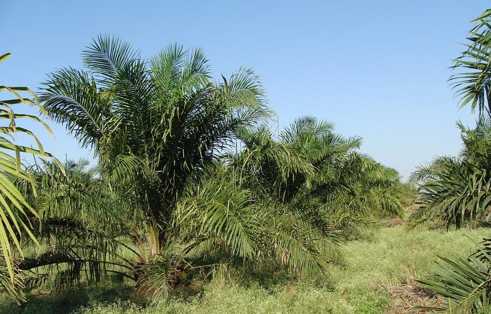 planta aceite de palma